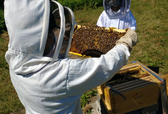 Beekeepers lifting frame covered in bees in front of hive