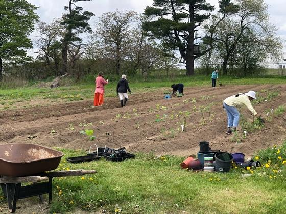 Volunteers transplanting vegetable seedlings into the garden