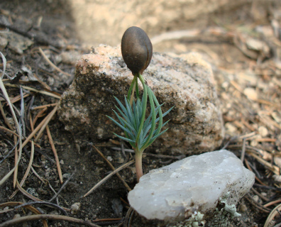 pinon seedling and quartz