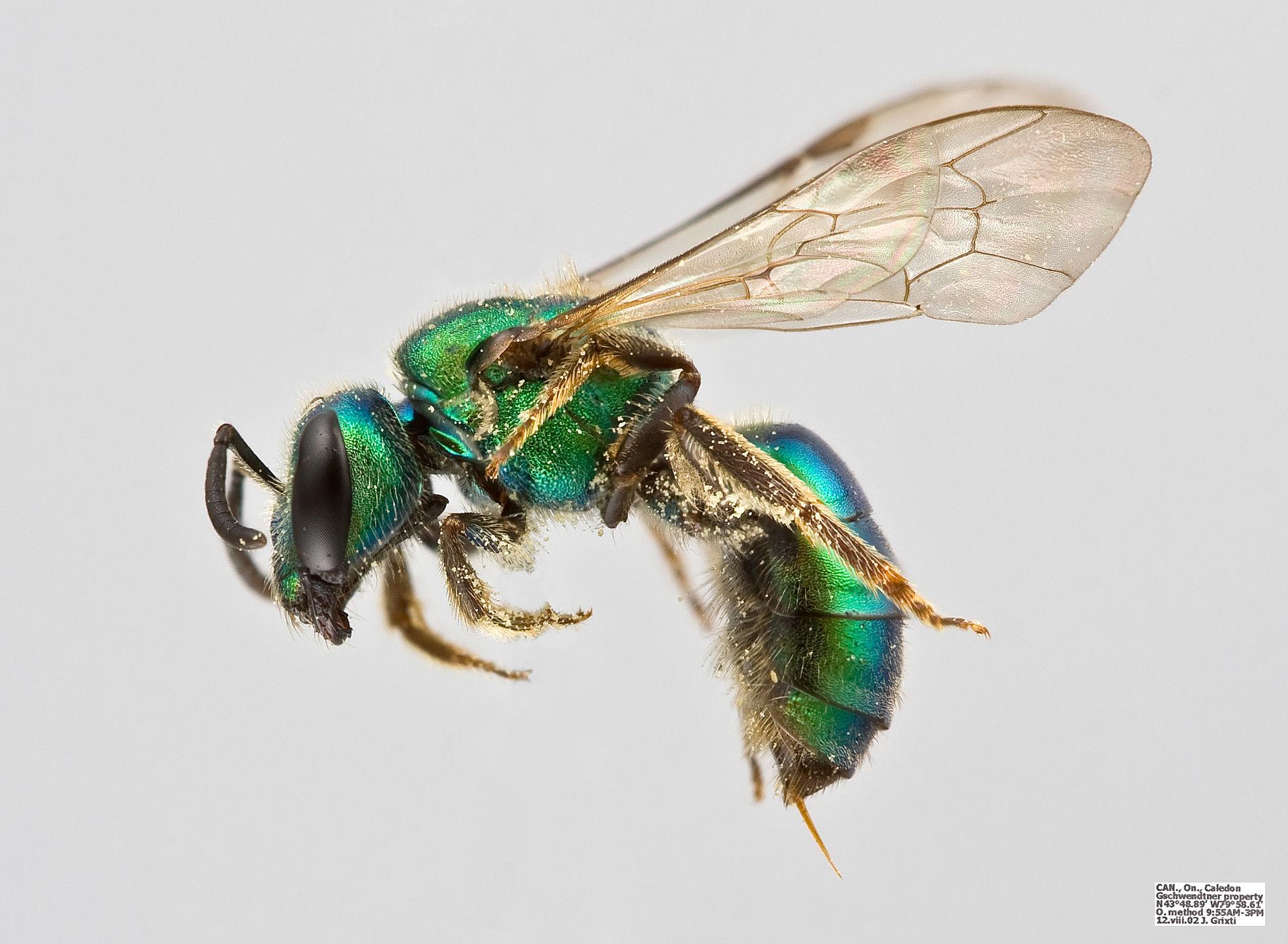 Augochlor pura female bee