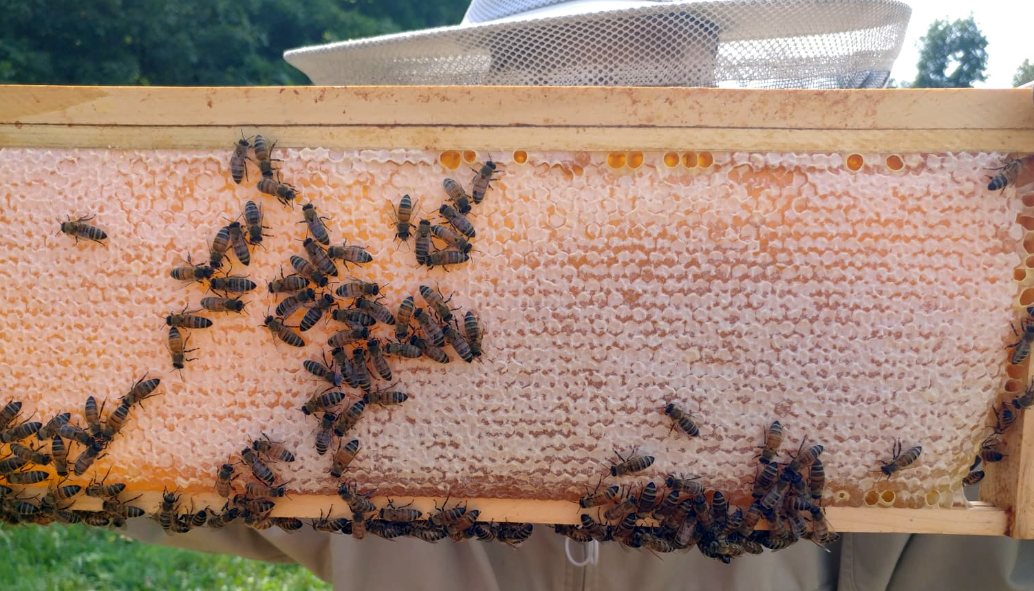 Capped honey on a bee frame