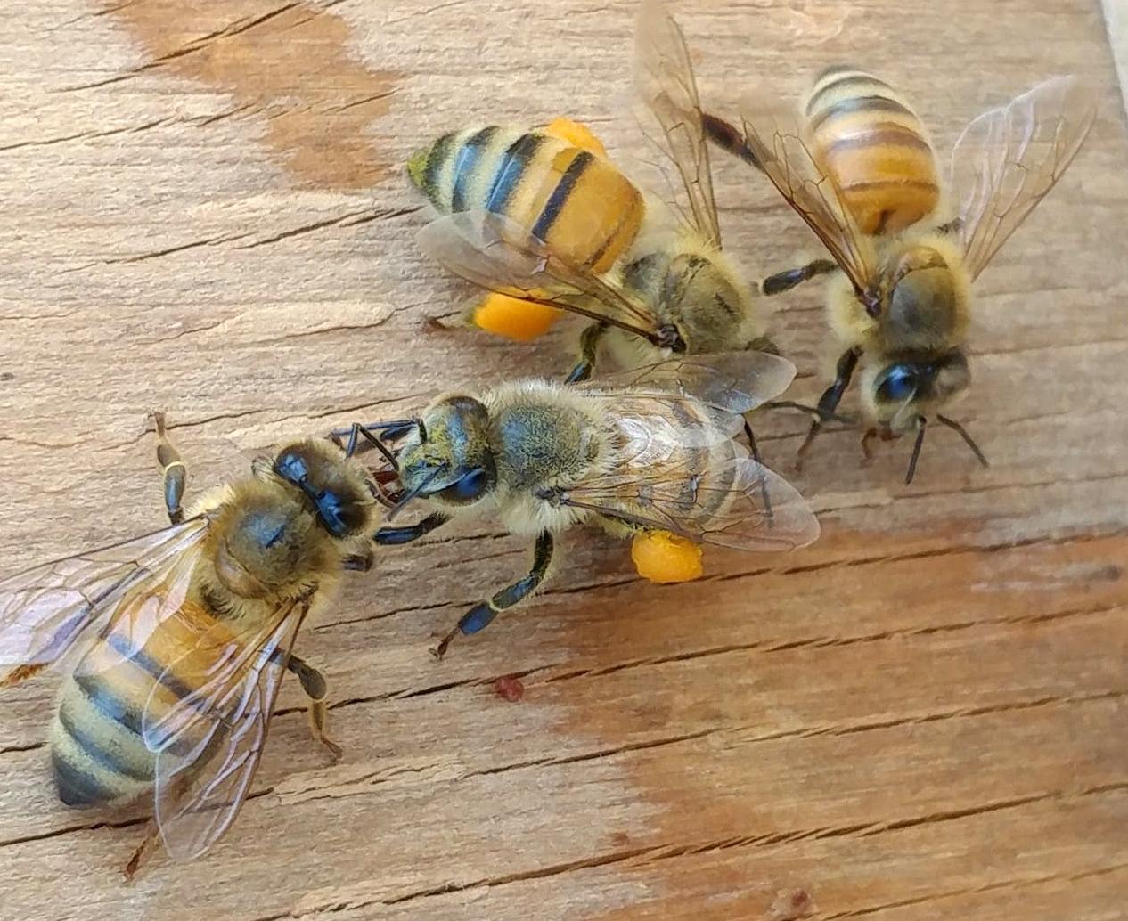 Honeybees with pollen on legs